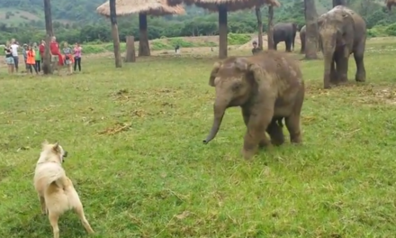 Cute baby elephant chases a dog