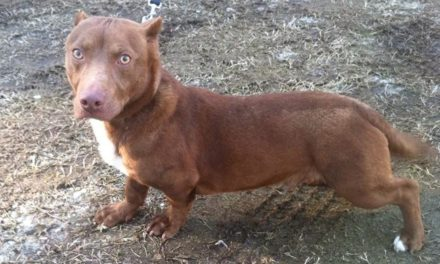 Rare Dachshund Pitbull Mix is Actually Kind of Cute.