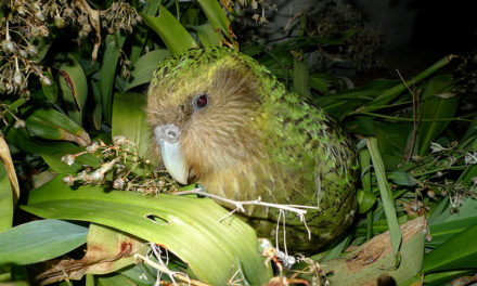 Meet the World's Largest Parrot, the Kakapo!