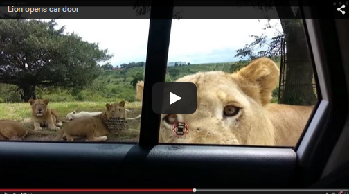 Did You Know Lions Could Open Car Doors? She Didn't