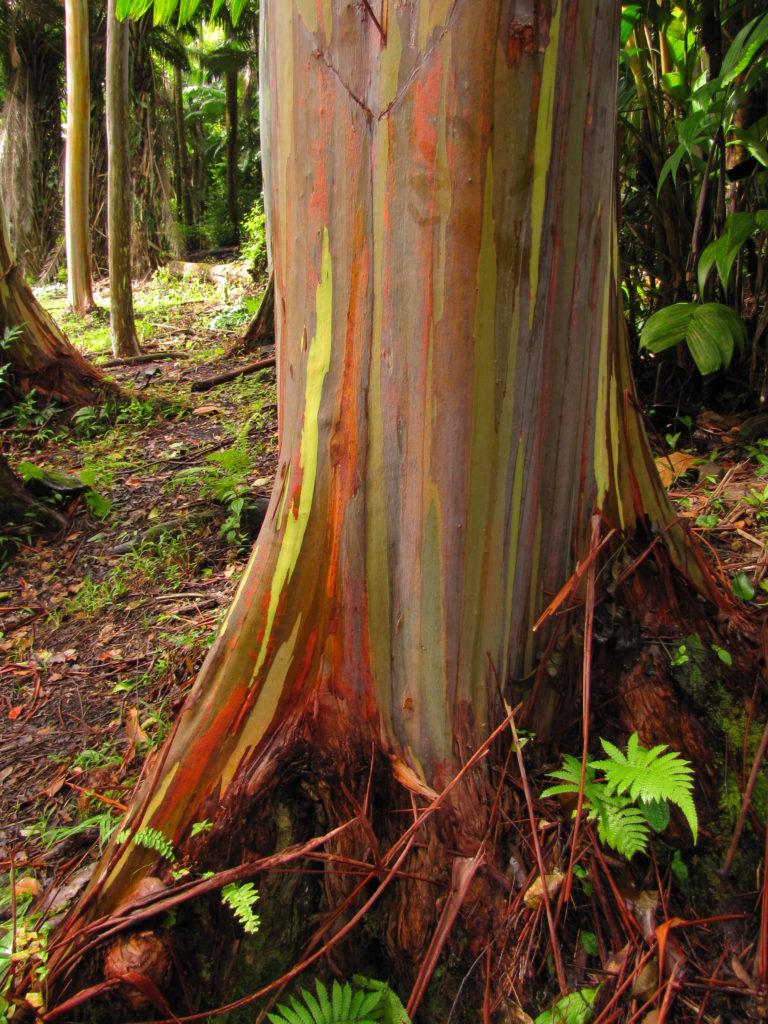 02-Rainbow Eucalyptus