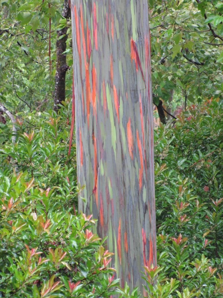 03-Rainbow Eucalyptus