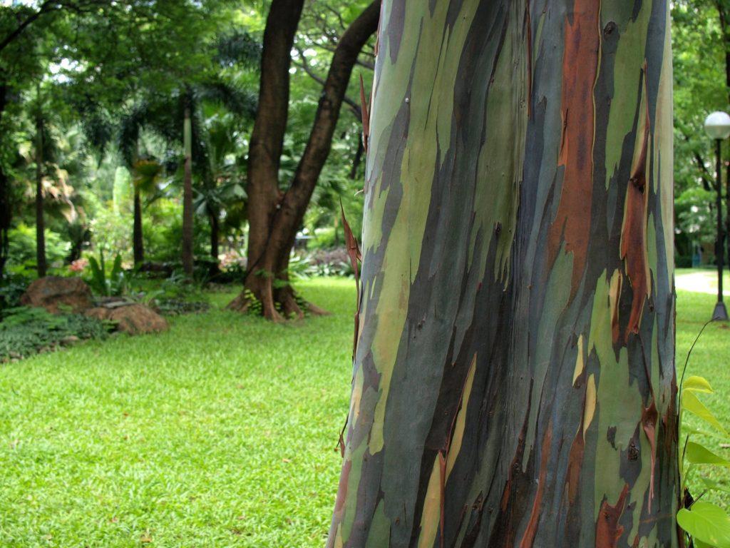 04-Rainbow Eucalyptus