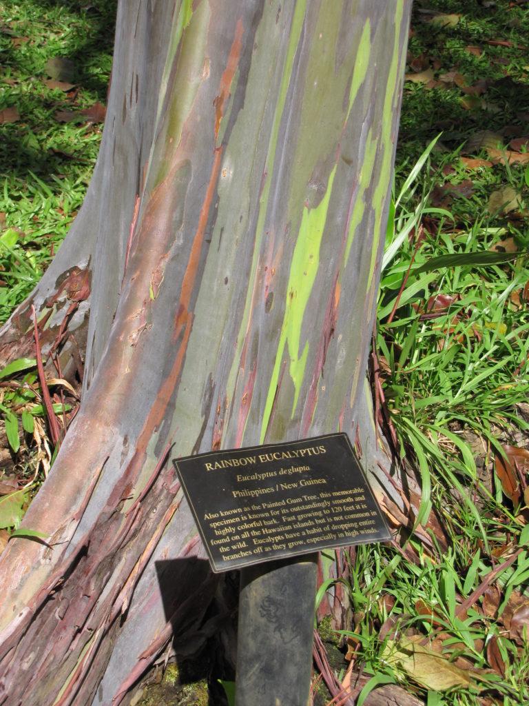 05-Rainbow Eucalyptus