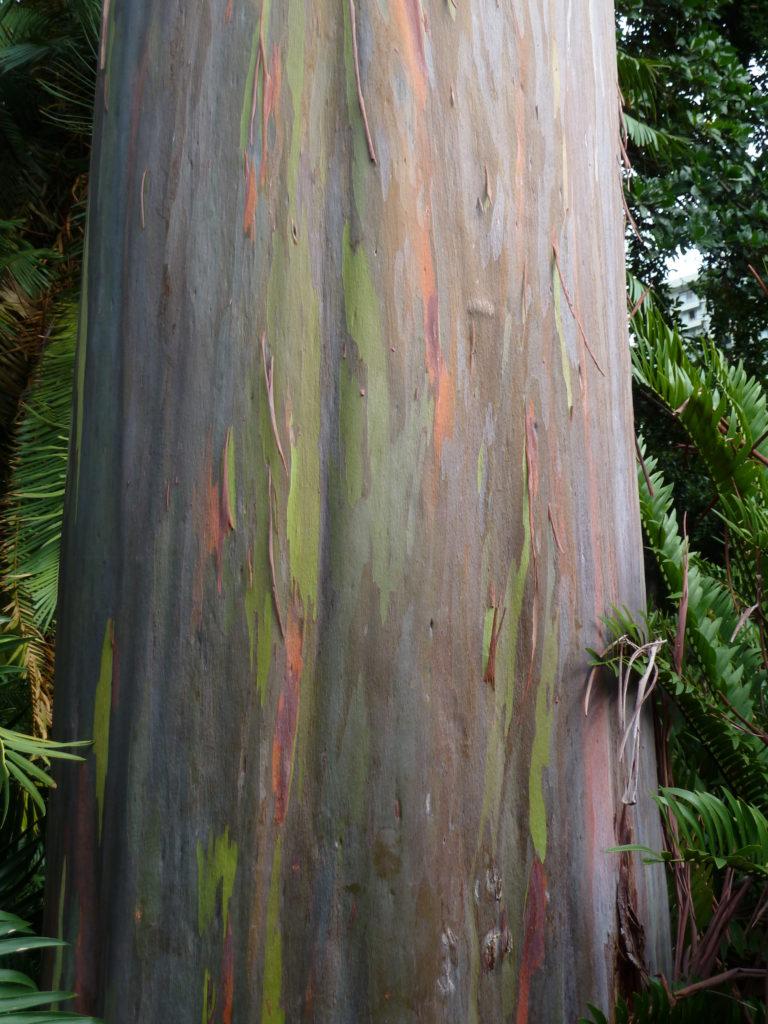 Rainbow Eucalyptus, Eucalyptus deglupta, at Foster Botanical Garden in Honolulu