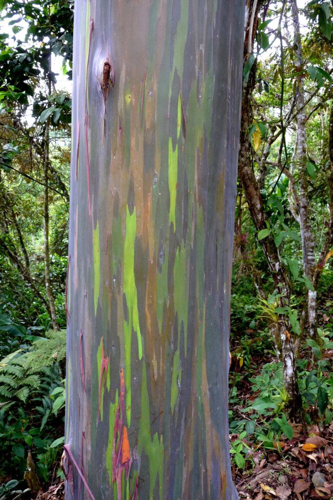 07-Rainbow Eucalyptus