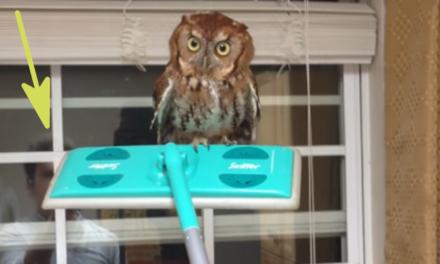 Owl Whisperer Handles Terrifying Owl in House.
