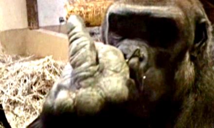 Man Offends Gorilla. Gets This in Return.