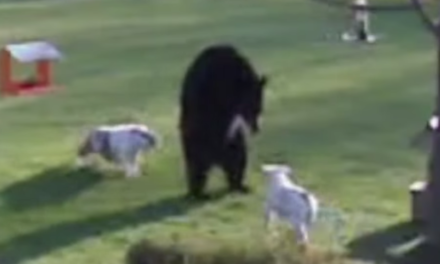 Dogs Break Through Fence to Fight a Bear.