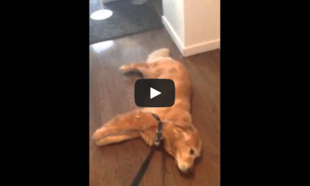 Dog Peacefully Protests Owner's Request to Walk.