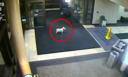 Dog Walks 20 Blocks To Find Owner In Hospital.
