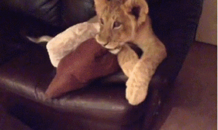 Two lion cubs watching TV. The Lion King or Dora the Explorer?