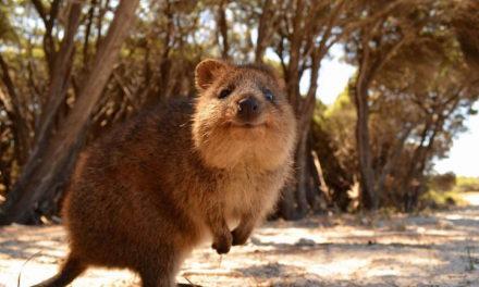 6 Quokka Pictures – World's Most Photogenic Animal.