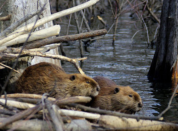 If You're an Animal, This Is Why You Want a Beaver as a Friend. [JOKE]