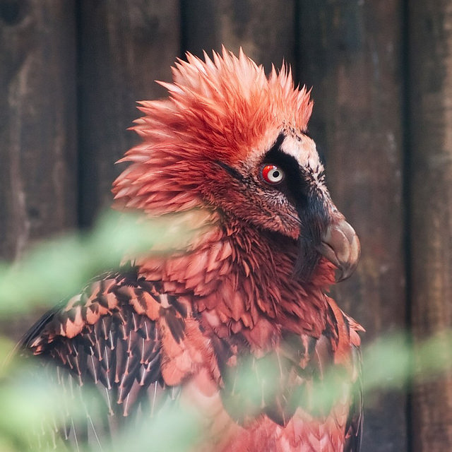 bearded-vultures