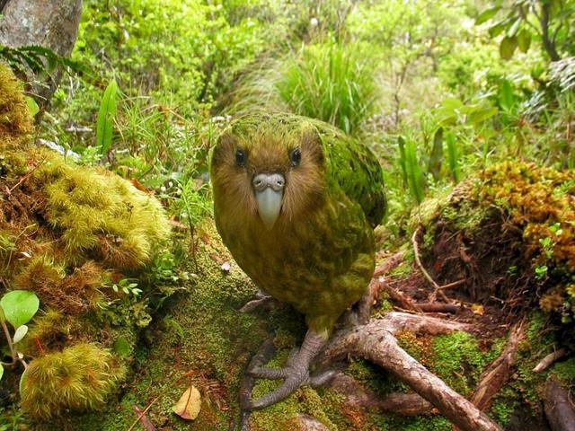 kakapo-pictures